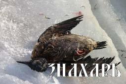 Птицы - вестники надвигающегося апокалипсиса